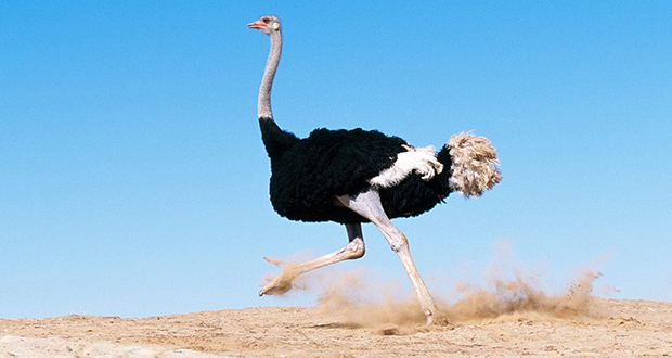 چرا شترمرغ نمی تواند پرواز کند؟