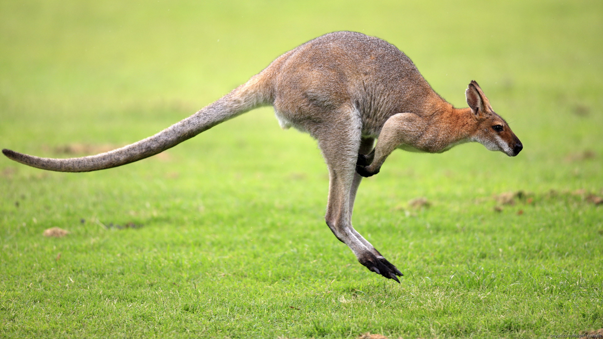 pictures of baby kangaroos in pouch