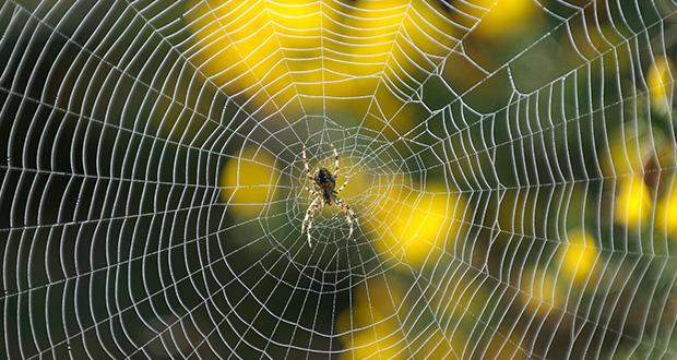 چگونه عنکبوت تار می تند؟