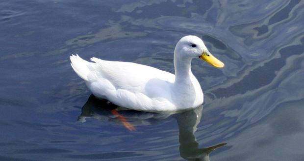 چگونه اردک روی آب شناور می ماند؟