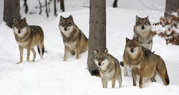چگونه گرگ ها شکار می کنند؟