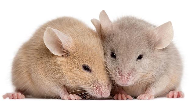 با زندگی موش ها آشنا شویم