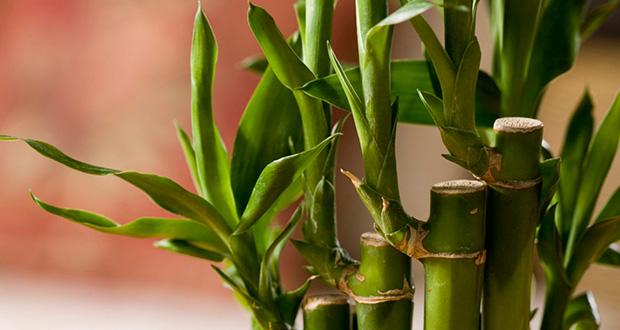 چگونه از گیاه بامبو در خانه نگهداری کنیم؟