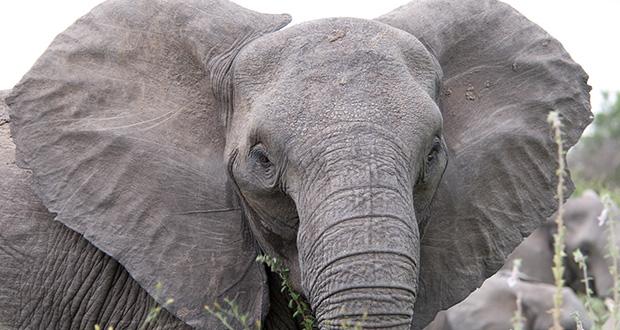 چرا گوش فیل بزرگ است؟