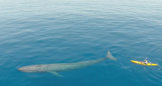 نهنگ آبی بزرگترین جانور دنیا است