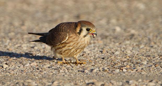 چرا پرندگان سنگریزه می بلعند؟