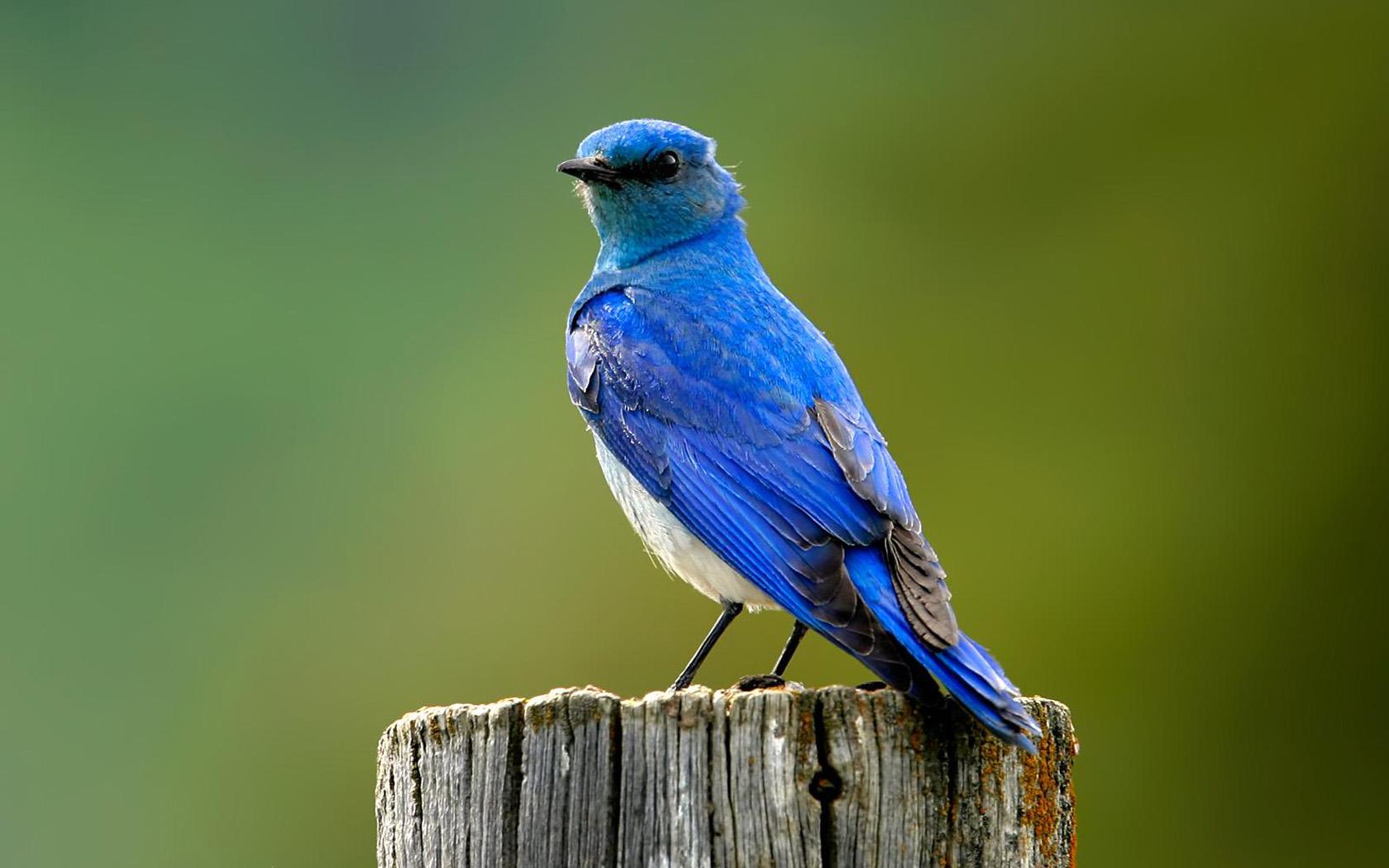 آزمون کوکولوژی پرنده آبی