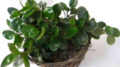 چگونه از گیاه برگ قاشقی در خانه نگهداری کنیم؟