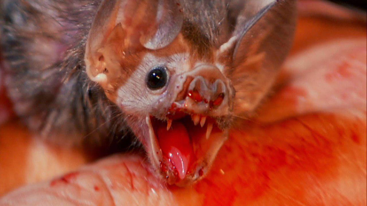 آیا خفاش ومپایر از خون تغذیه می کند؟