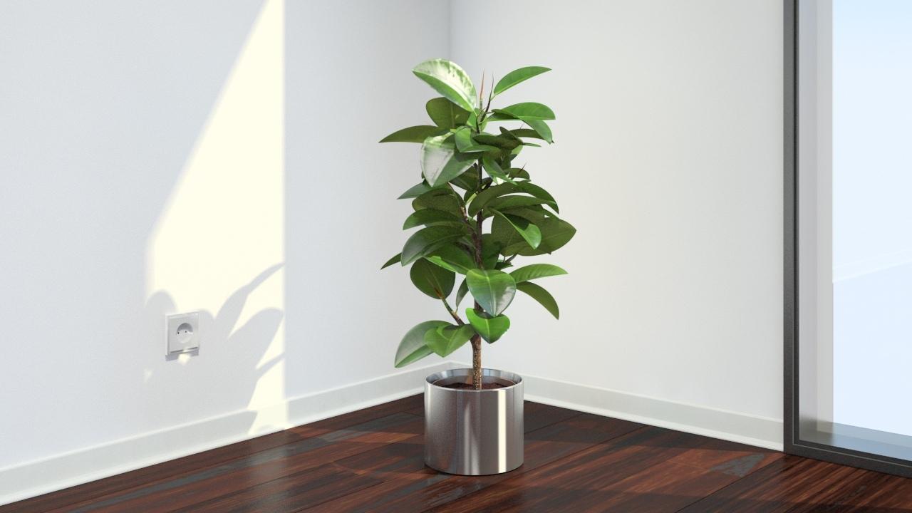 چگونه از گیاه فیکوس در خانه نگهداری کنیم؟