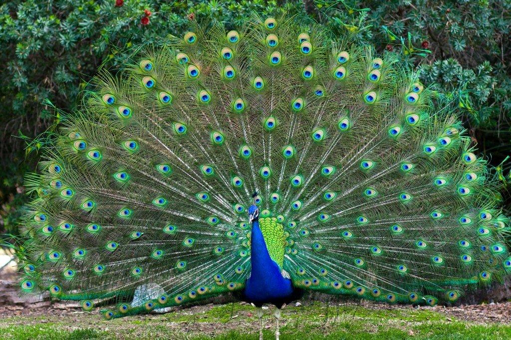 چرا طاووس پرهایش را باز می کند؟