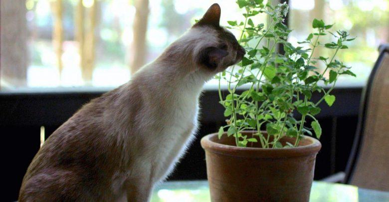 آیا سنبل الطیب ماده مخدر گربه ها است؟