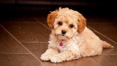 با سگ های نژاد مالتیپو آشنا شوید