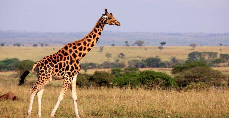 چرا زرافه ها گردن بسیار بلندی دارند؟