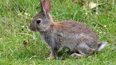 چرا خرگوش گوش های بزرگی دارد؟
