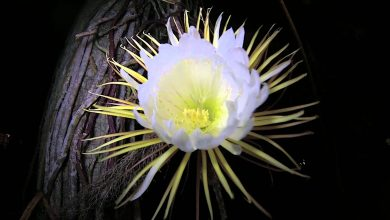 چرا گل های برخی از گیاهان فقط شب ها می شکفند؟