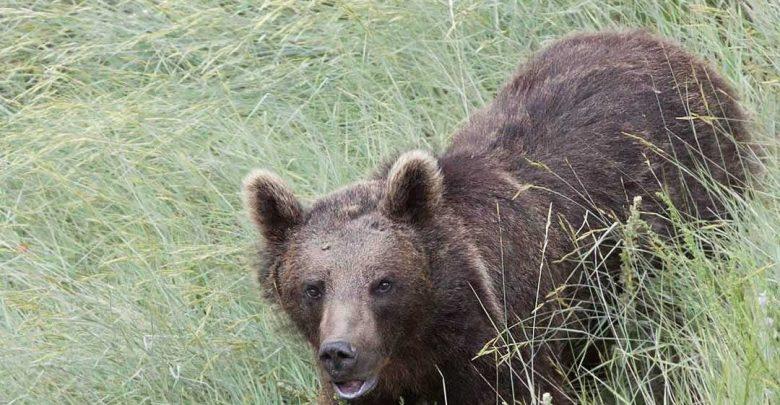 آشنایی با خرس قهوه ای ایران