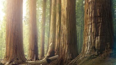 چگونه می توان عمر یک درخت را تخمین زد؟