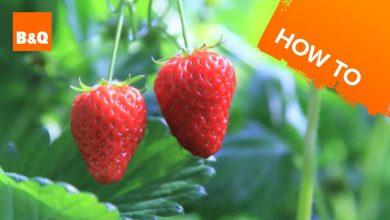 آموزش پرورش توت فرنگی در خانه