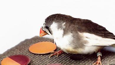 پرندگان نیز مثل انسان ها رنگ را طبقه بندی می کنند