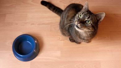 6 اشتباه درباره تغذیه گربه