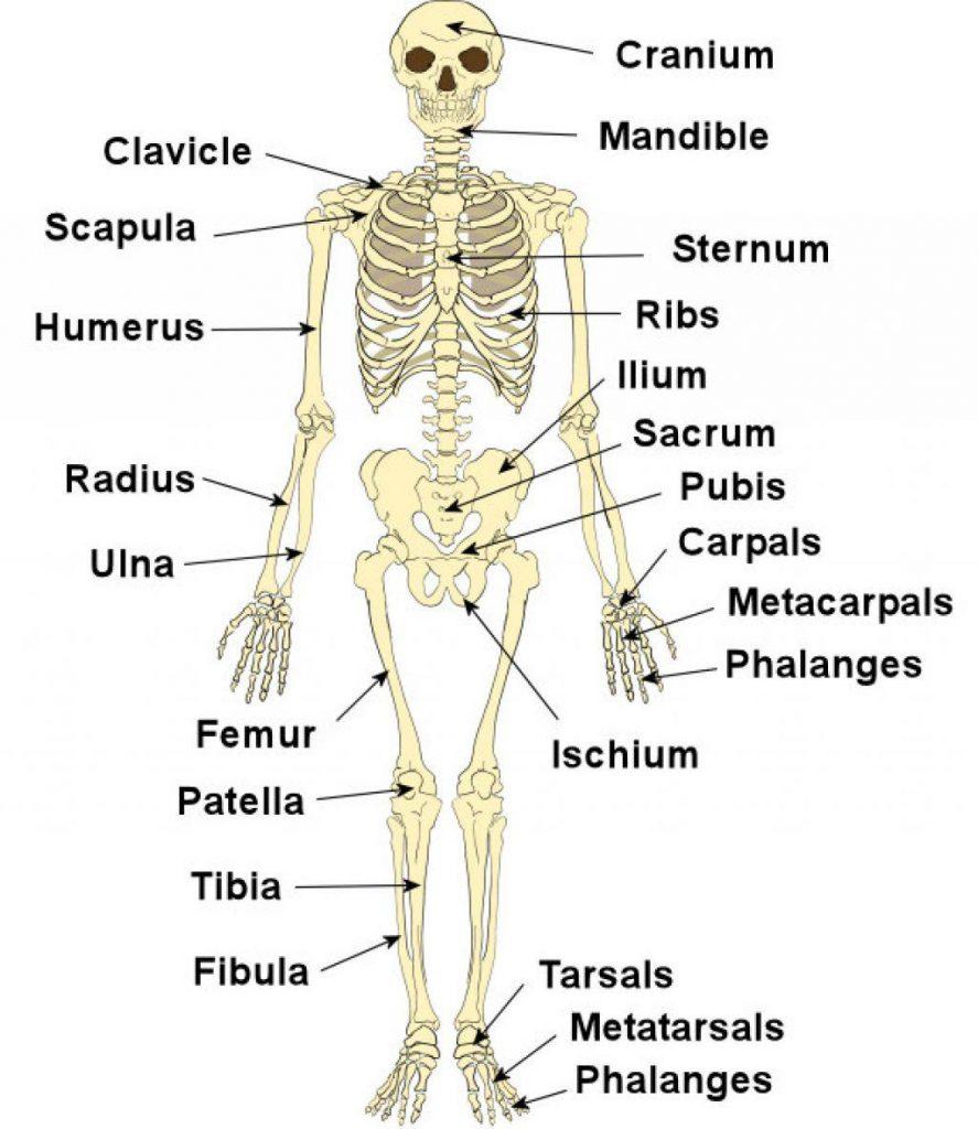 بخش های اسکلت بندی بدن