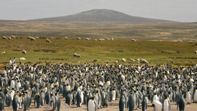 کاهش 88 درصدی جمعیت بزرگترین گله شاه پنگوئن های قطبی