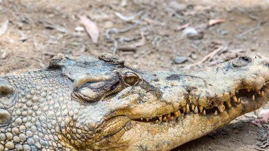 فرق سوسمار و تمساح چیست؟