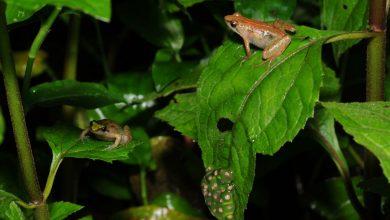 کشف گونه جدید قورباغه در اتیوپی