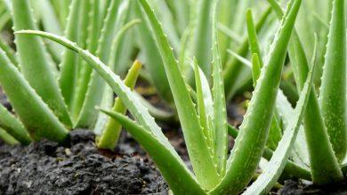 چگونه از گیاه آلوئه ورا در خانه نگهداری کنیم؟
