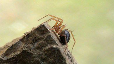 عنکبوت ها به روشنایی شهری عادت می کنند