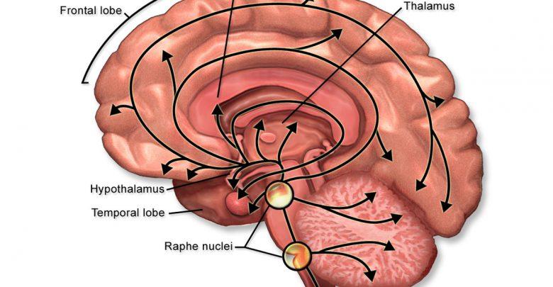 سروتونین در کدام قسمت بدن تولید می شود؟