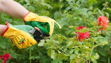 چگونه گل رز را هرس کنیم؟