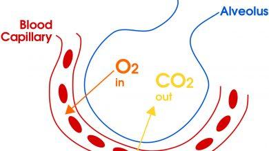 تبادل گازها در بدن چگونه انجام می شود؟